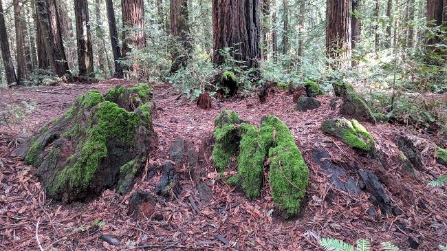 Ancient stump, 15 feet across, Joaquin Miller Park, Oakland, CA
