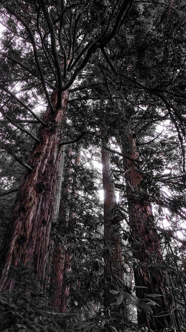 Redwood grove, Joaquin Miller Park, Oakland, CA
